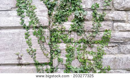 Ivy Growing on Ancient Wall