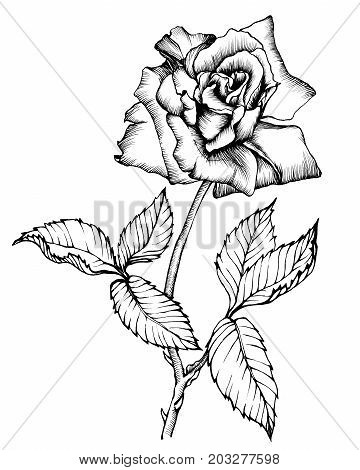 Graphic the branch flowering rose, close-up of flower with leaves. Black and white outline illustration hand drawn painting. Isolated on white background.