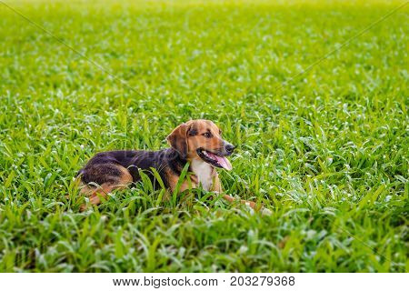 Happy dog relaxing outdoors on the lawn enjoying nature relaxing joyfully