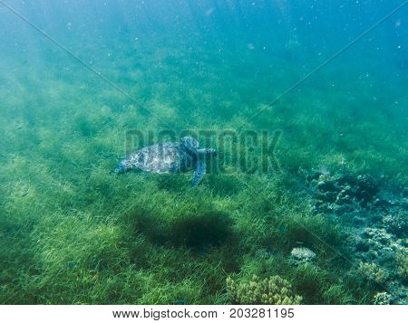 Green sea turtle in sea water. Tropical lagoon inhabitant. Marine species in wild nature. Turtle in tropical sea. Tortoise photo. Big turtle in blue water. Aquatic animal underwater. Tortoise banner