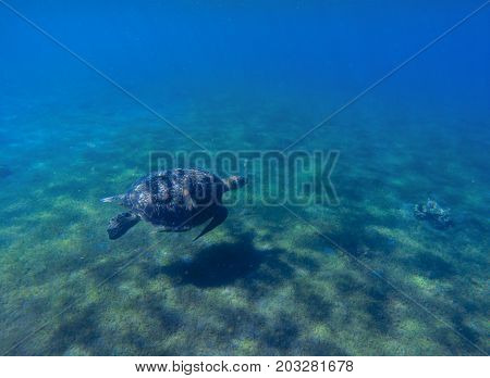 Green sea turtle in sea water. Cute sea turtle dives. Marine species in wild nature. Turtle in tropical sea. Wild tortoise photo. Big turtle in blue water. Aquatic animal underwater. Tortoise banner