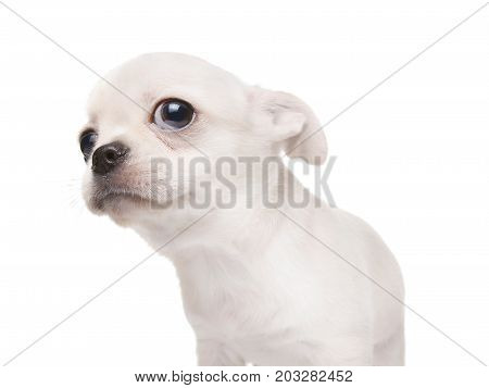 Small Puppy Dog Looking At Something. Isolated On White