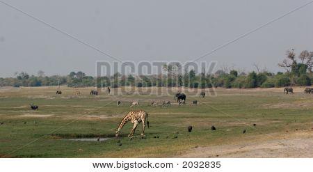 Animal Activity At Chobe Riverfront