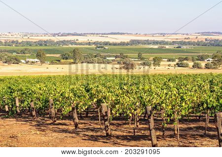 Rows of grapevines in the Barossa Valley - SA, Australia