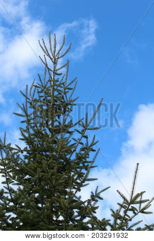 Canaan fir tree against blue sky with clouds, vertical aspect
