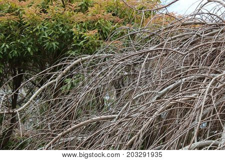 Cascade of bare baldcypress branches, close view