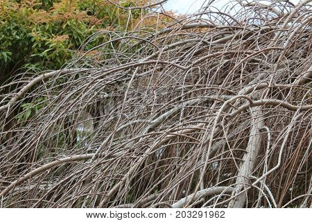 Thicket of bald cypress branches in winter, horizontal aspect