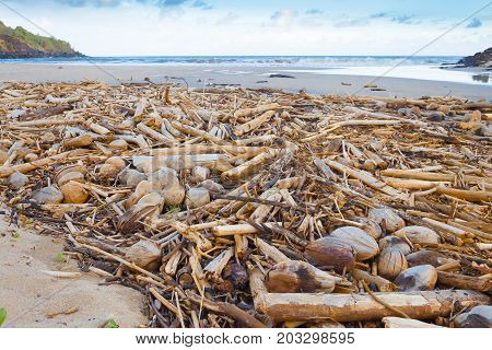 timber and coconuts dragged by the sea current to the beach in kawaii island hawaii