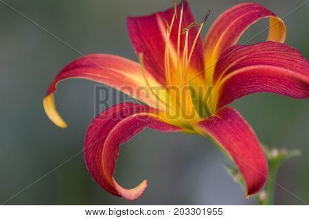 Beautiful close-up of Lily with a gray and green subdued background.
