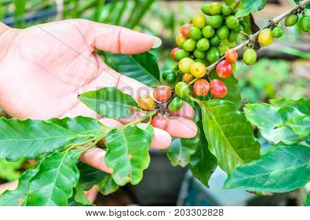 Female hand with red arabica coffee beans on coffee tree