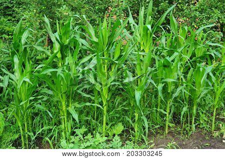 Organic farming. Growing organic corn maize in the garden.