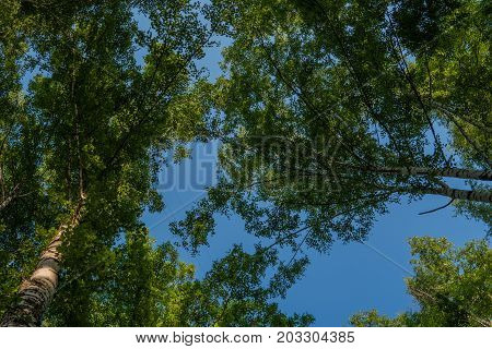 Birch branches and blue sky. Forest birch grove.
