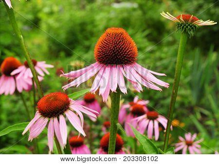 Echinacea flowers. Echinacea purpurea (eastern purple coneflower or purple coneflower) flowers in bloom. Echinacea purpurea is used in folk medicine.