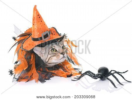 bengal kitten and halloween in front of white background