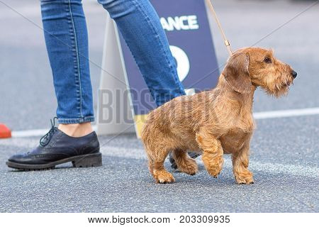 Little Terrier runs next to the owner's boot on the asphalt road.