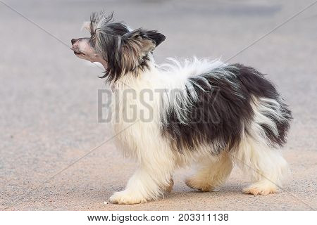 Chinese Crested Dog is a breed of dogs. The dog is small, active, elegant, very cheerful and has a strong attachment to its owner.