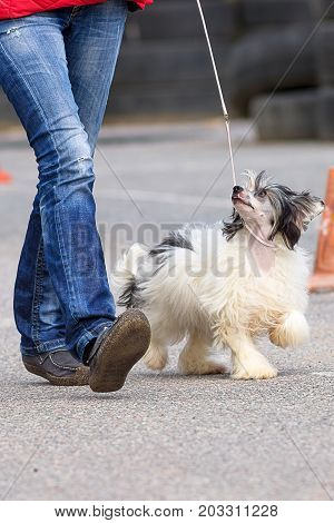 Chinese Crested dog runs along the ring next to the owner. The dog is small, active, elegant, very cheerful and has a strong attachment to its owner.