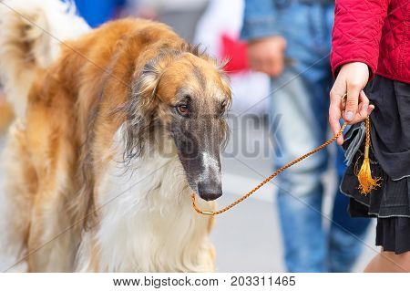 Russian Greyhound the dog goes on a leash next to the owner group of breeds of hunting trap dogs.