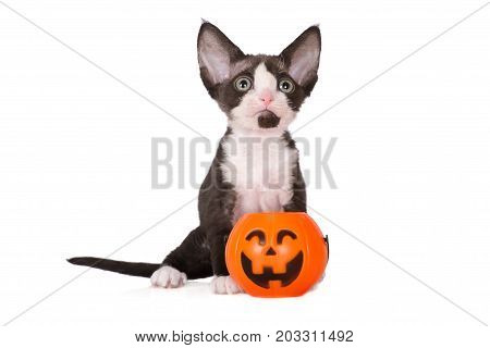 devon rex kitten posing with a pumpkin