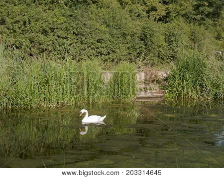 A Single Mute Swan On The Top Of A Lake With Reflection In The Water Countryside - Cygnus Olor