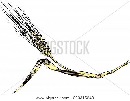 Drawing of spikelet of rye on the white