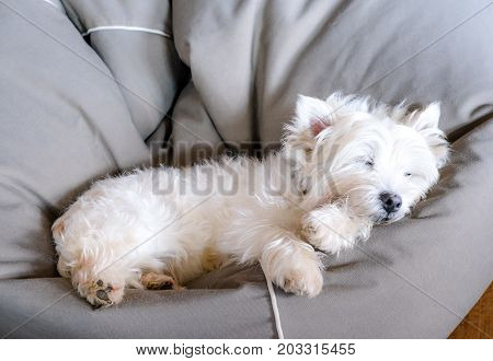 Senior west highland white terrier westie dog sleeping in a bean bag looking cute and comfortable
