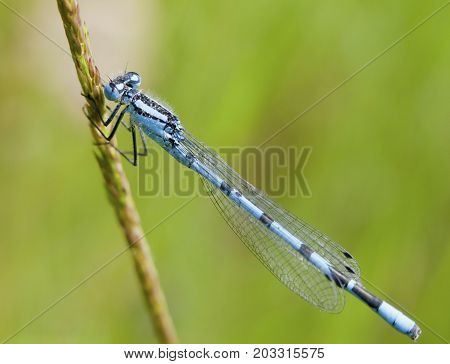 Perched Common Blue Damselfly On Grass Stalk Outside - Enallagma Cyathigerum