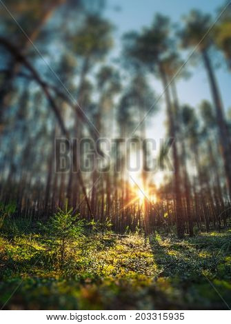 Deep autumn forest with pine trees and moss fields. Tilt shift effect applied