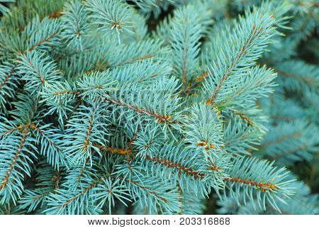 Blue spruce branches on a textured background. Blue spruce green spruce white spruce Colorado spruce or Colorado blue spruce with the scientific name Picea pungens is a species of spruce tree.