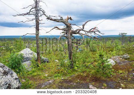 Gnarled Tree On The Mountain Vottovaara.