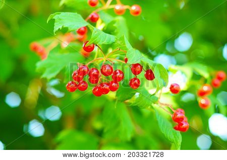 Closeup of bunches of colorfull red berries of a Guelder rose or Viburnum opulus shrub on a sunny day.Viburnum opulus is homeopathic remedies