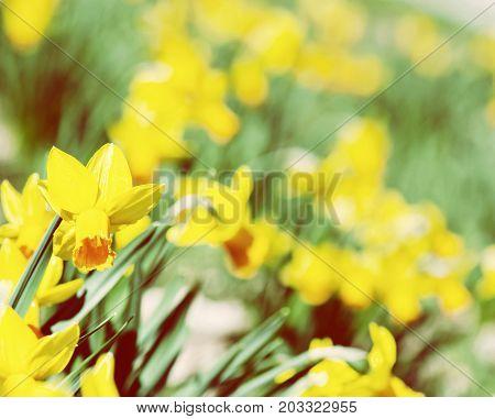 Flowerbed of blooming yellow daffodils in spring garden. Seasonal natural scene. Vivid photo filter.