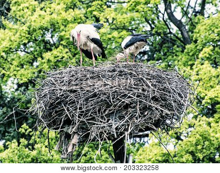 Family of White stork - Ciconia ciconia - in the nest. Bird watching. Red beak. Bird's nest. Blue photo filter.