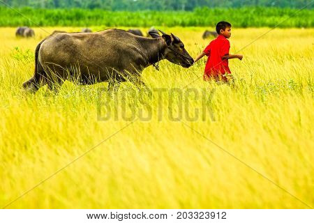 Red shirt boy leading a buffalo walking in rice farm in rural of Thailand