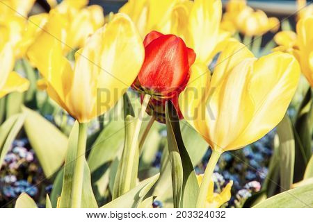 Red and yellow tulips and forget-me-not flowers planted in the park. Beauty photo filter. Springtime natural scene.