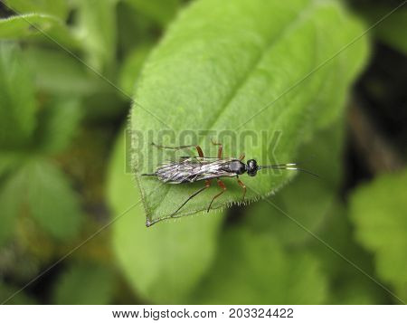 Insect Rider. The Hymenopteran Insect On A Green Leaf.