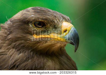 Golden eagle with green backround. Portrait bird of prey