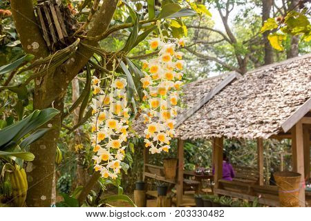 bunch of Dendrobium densiflorum Lindl on tree branch beautiful background