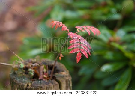 closeup of a small rowan (Sorbus aucuparia) on a dead tree trunk in beautiful autumn colors