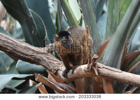 Adorable Little Brown Collared Lemur In a Tree