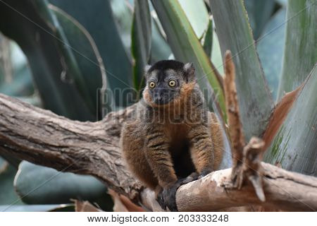 Lovely Brown Collared Lemur on a Branch