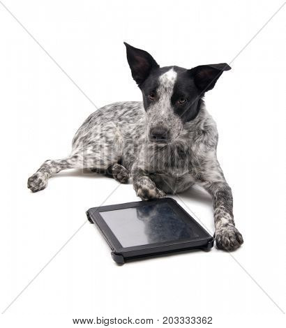 Black and white spotted dog lying down with a tablet computer in front of her, looking at the viewer; on white
