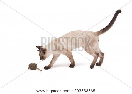 Young Siamese cat walking towards a toy mouse, on white