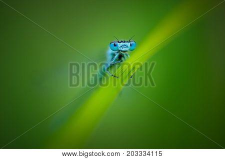 Beautiful Dragonfly Ischnura Elegans. Blue Tailed Damselfly