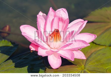 Pink waterlily flower blossom in a pond,decoration aquatic plant