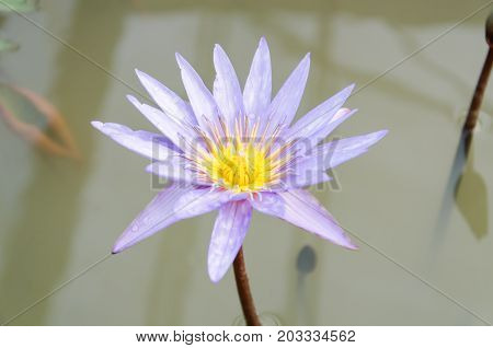 Purple waterlily flower blossom in a pond,decoration aquatic plant
