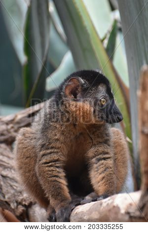 Cute Endangered Collared Lemur Living in Nature