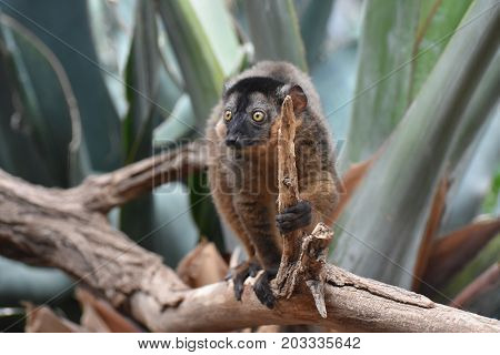 Adorable Little Brown Collared Lemur Holding a Stick