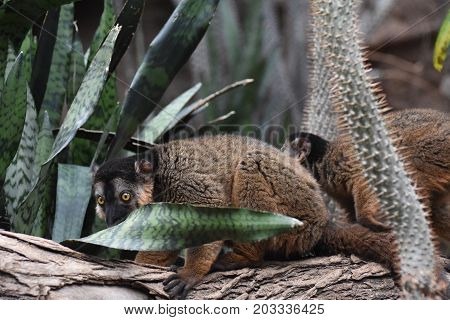 Amazing Image of two Brown Collared Lemurs