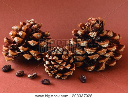 Three pine cones with pine nuts. Pineapples freshly fallen from the tree full of pine nuts.